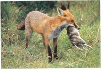 Fox_with_animal_in_mouth_web1